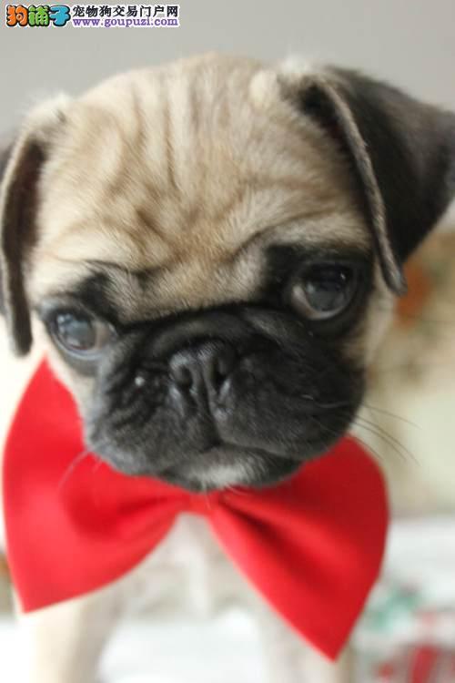 出售活泼可爱巴哥犬 疫苗驱虫做好品质有保证包售后