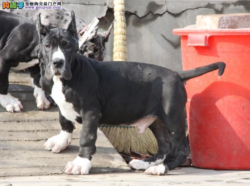 长沙正规狗场犬舍直销大丹犬幼犬长沙市内免费送货1