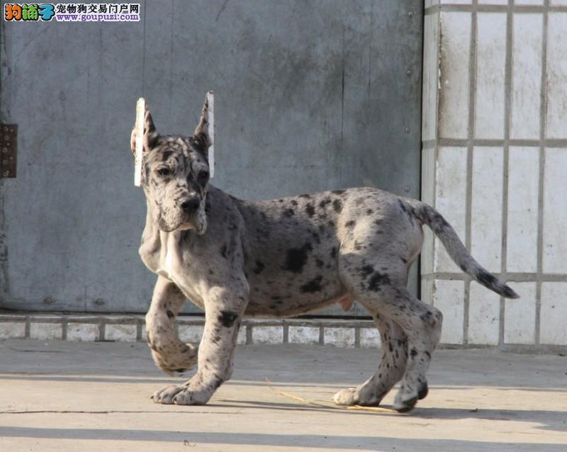 公母均有的长沙大丹犬找爸爸妈妈CKU认证品质绝对保障