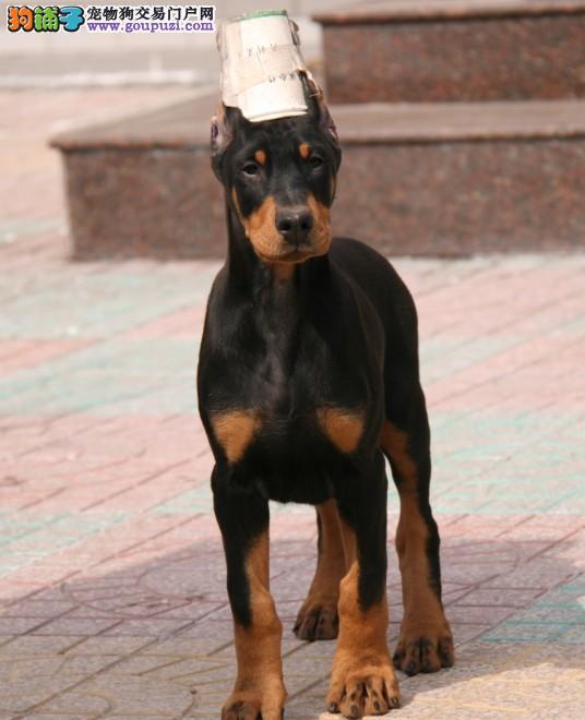养殖场直销完美品相的杜宾犬微信咨询看狗狗照片
