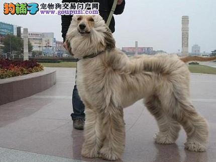 繁殖基地出售多种颜色的阿富汗猎犬喜欢的别错过4