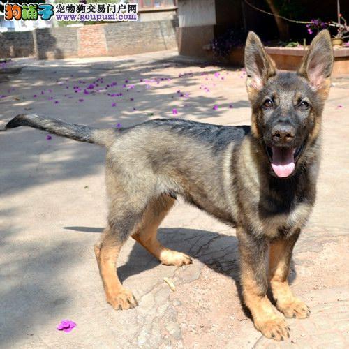 最大犬舍出售多种颜色昆明犬质量三包完美售后