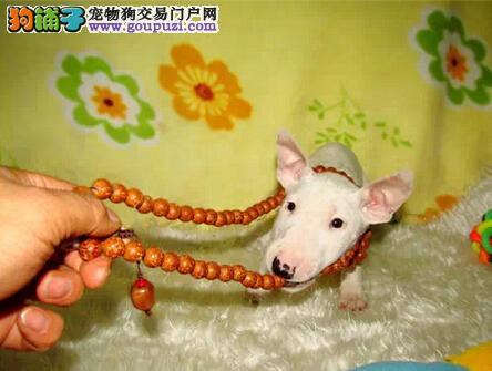 高品质牛头梗出售 最个性的狗狗 健康纯种血统有保障