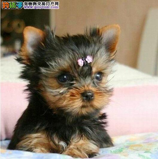 实体店低价促销赛级约克夏幼犬品质血统售后均有保障