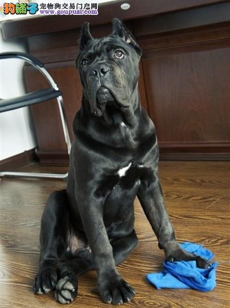 便宜出售哪里有卖双血统护卫猛犬 卡斯罗幼犬