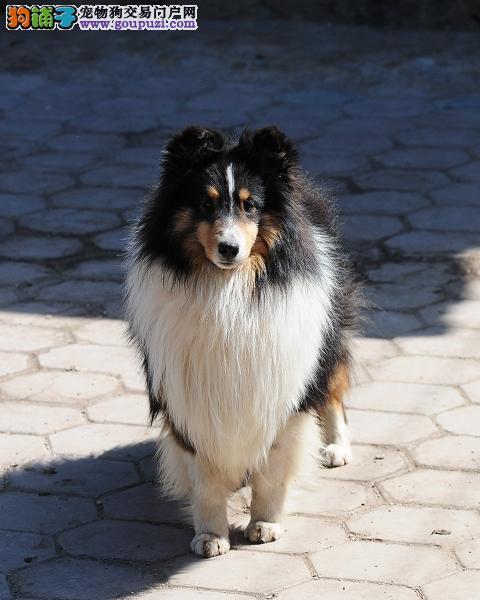 龙岩出售纯种喜乐蒂牧羊犬周边地区可以送上门挑选