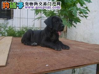 杭州自家狗场繁殖直销大丹犬幼犬真实照片视频挑选1