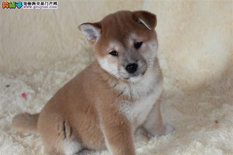 出售高端柴犬 自家繁殖保养活 质保健康90天
