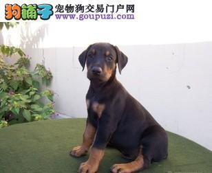 德系高品质纯种杜宾犬幼犬低价出售1