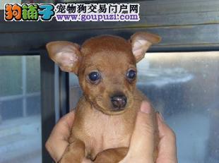 昆明家养繁殖的小鹿犬幼犬多只可选 黑色黄色都有