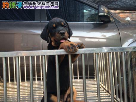 北京 纯正德系罗威纳防暴犬、大头粗腿忠诚强.