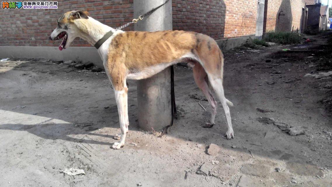 鄂州市售格力犬猎兔犬灵缇犬幼犬速度超快可包邮