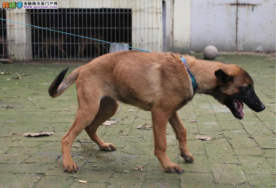 天津热卖马犬多只挑选视频看狗保障品质售后