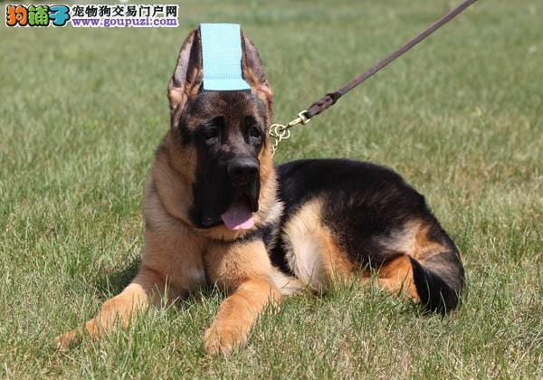 CKU犬舍认证出售高品质大同昆明犬金牌店铺有保障3