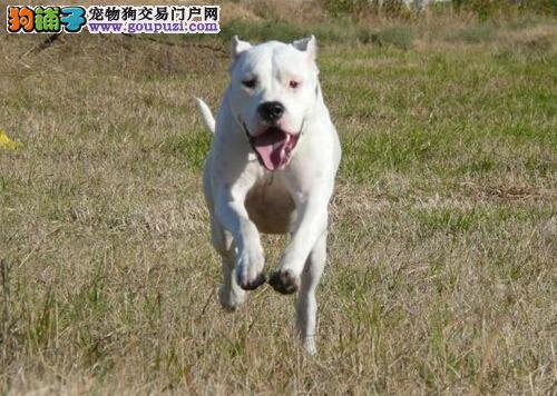 贴心照顾狗 杜高犬饲养工作的小要点
