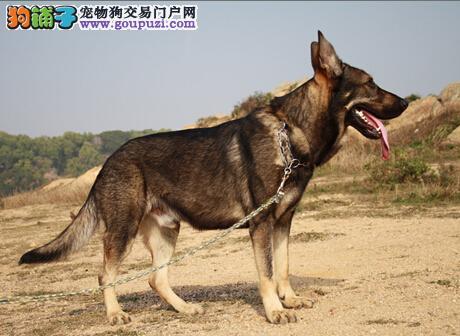 首席饲养大师教你饲养昆明犬的具体方法