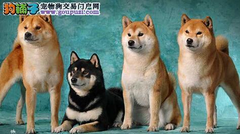 恋爱的季节之详细了解柴犬发情的三个阶段