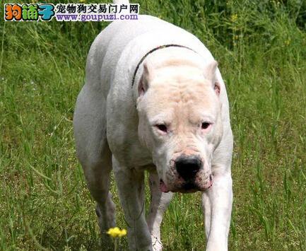 杜高犬总是随地大小便新宠主应如何应对