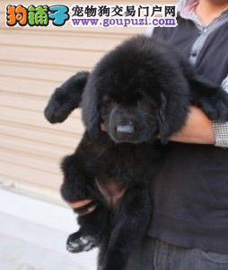 纽芬兰犬多少钱一只