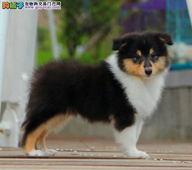 杭州纯种苏格兰牧羊犬幼犬多只待售正规养殖场品质保障