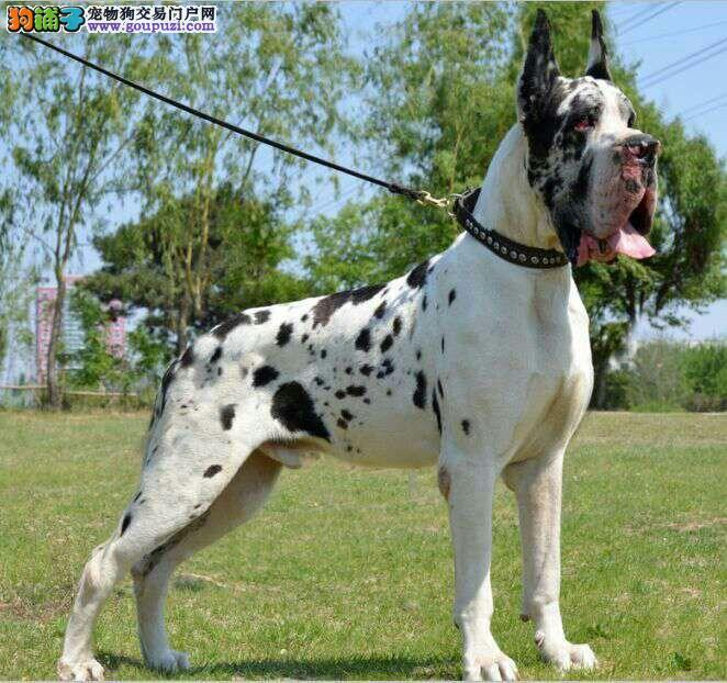 黔南州赛级纯种大丹犬 大型犬幼犬活体出售宠物狗