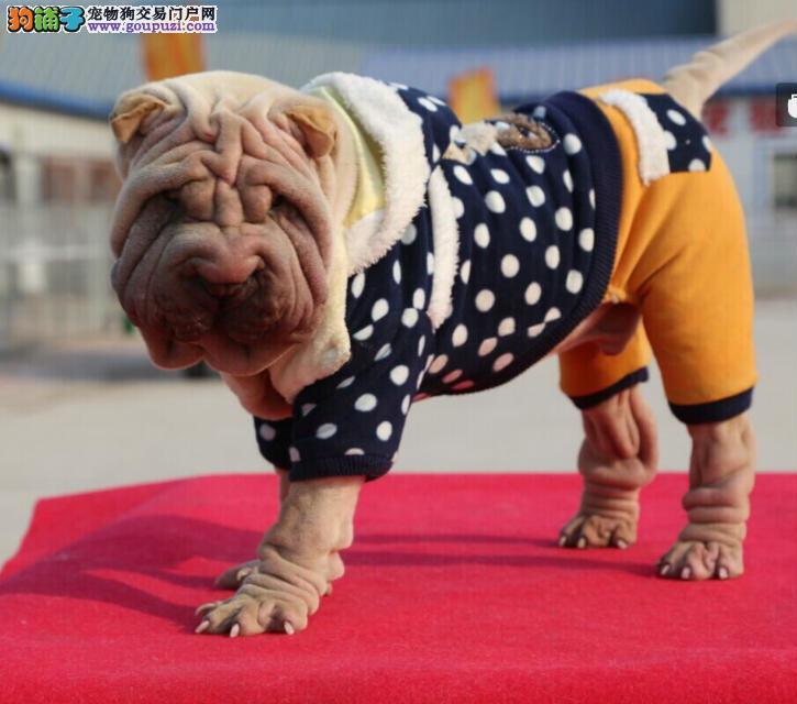 拉萨高品质大皱脸沙皮狗幼犬 血统纯正 体型完美健康