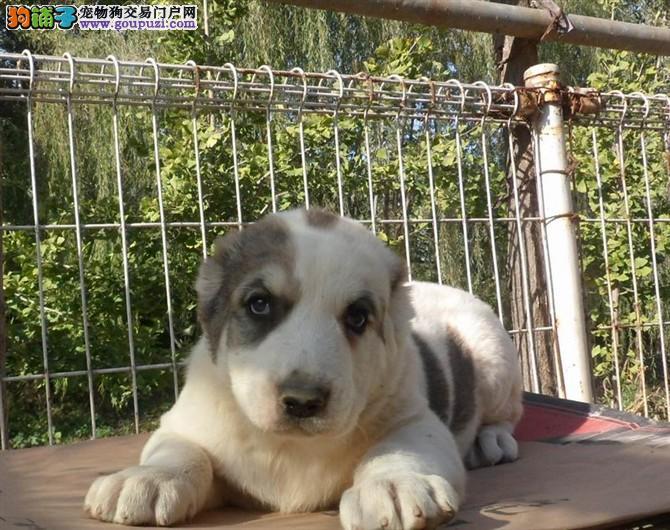 出售多种颜色青岛纯种中亚牧羊犬幼犬保证品质完美售后