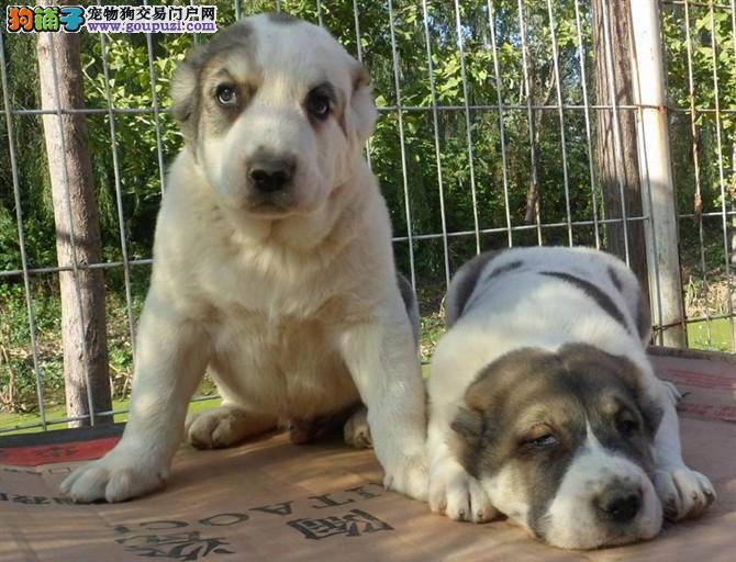 出售中亚牧羊犬颜色齐全公母都有狗贩子请勿扰