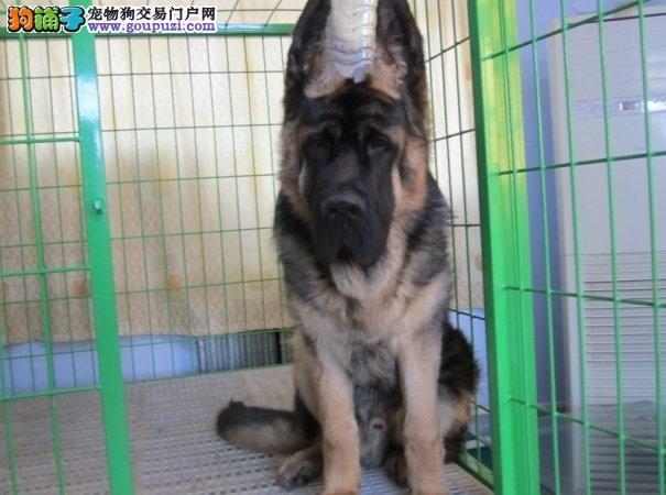 出售昆明犬公母都有品质一流诚信经营三包终身协议3