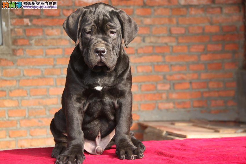济南出售纯种卡斯罗幼犬 重头版大骨量 黑色勇士