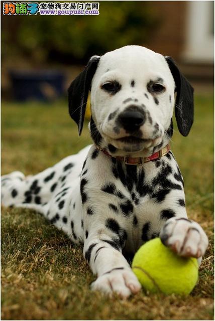 兰州知名犬舍出售多只赛级斑点狗全国当天发货