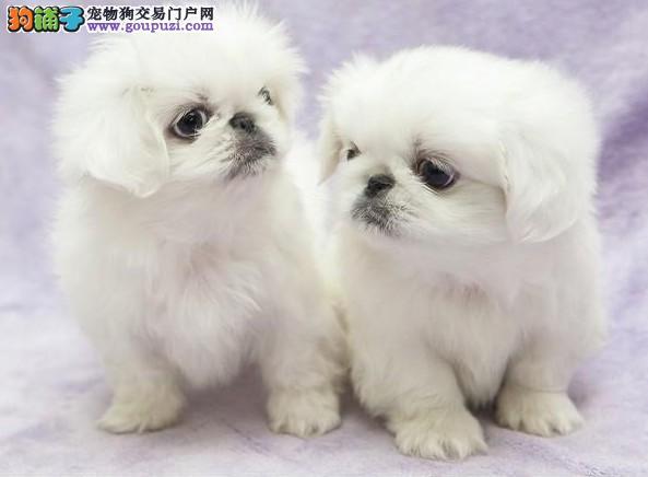 出售家养纯种京巴宝宝幼犬,包健康,包血统