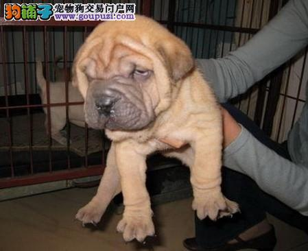 重庆出售活泼可爱纯种温顺憨厚沙皮幼犬,公母都有