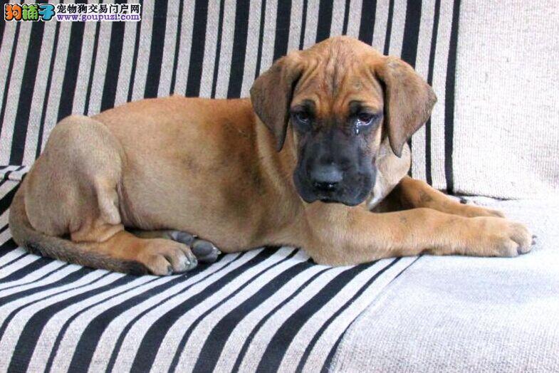 昆明正宗大丹犬花丹黑丹金丹出售、可见大狗、可视频上门3