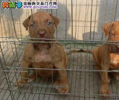 权威机构认证犬舍 专业培育比特犬幼犬购犬可签协议