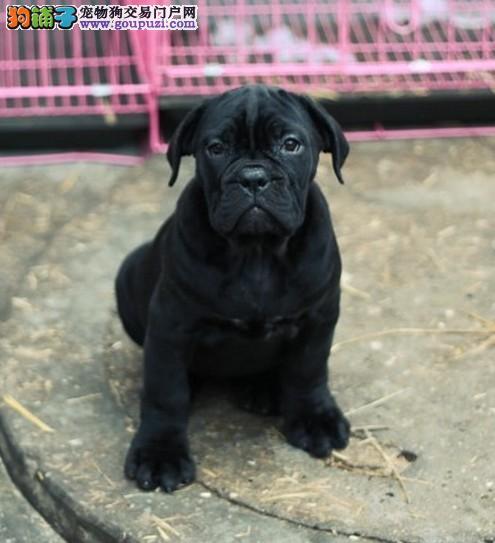 专业繁殖 宠物级卡斯罗犬赛级卡斯罗犬 支持送货