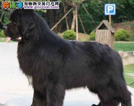 精品纯种贵阳纽芬兰犬出售质量三包血统证书芯片齐全图片