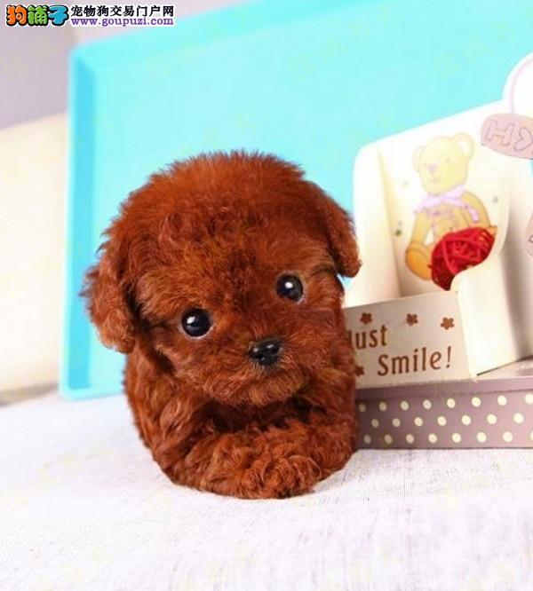 高品质茶杯犬宝宝、国际血统品质保障、三包终生协议3