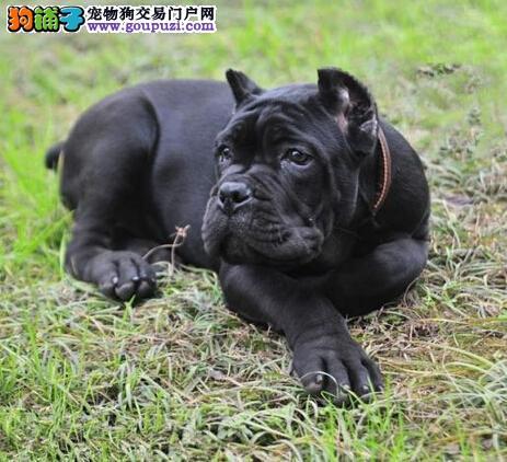 品质健康有保障武汉卡斯罗犬热卖中保证冠军级血统2