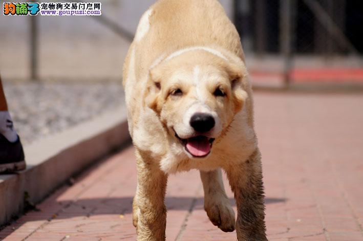 犬舍直销品种纯正健康南昌中亚牧羊犬微信选狗直接视频