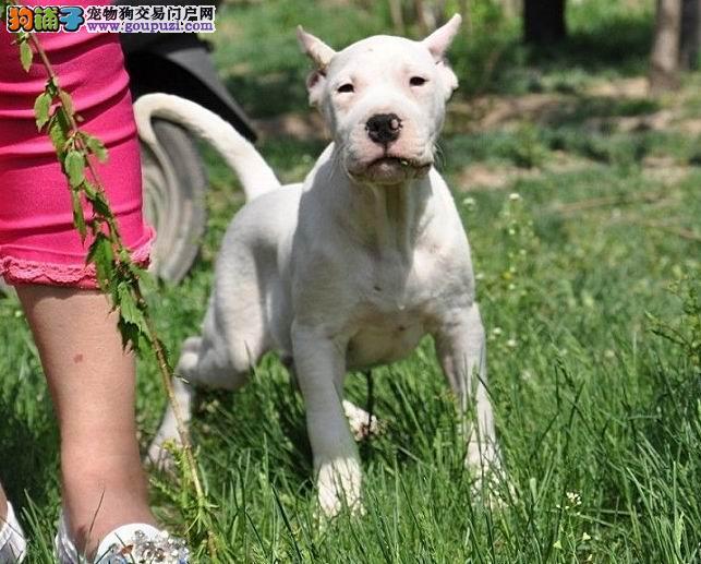 武汉知名犬舍出售多只赛级杜高犬全国十佳犬舍4