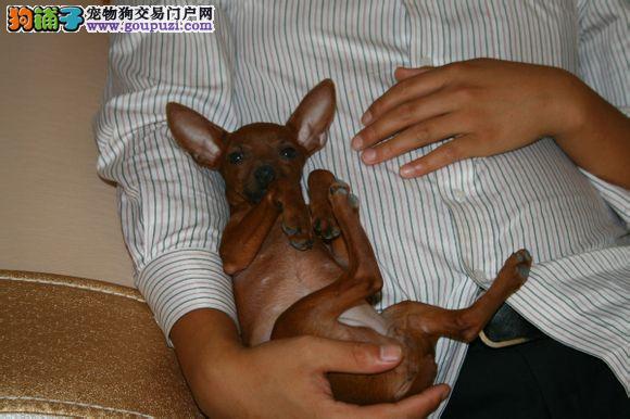 多种颜色的哈尔滨小鹿犬找爸爸妈妈假一赔万签活体协议2