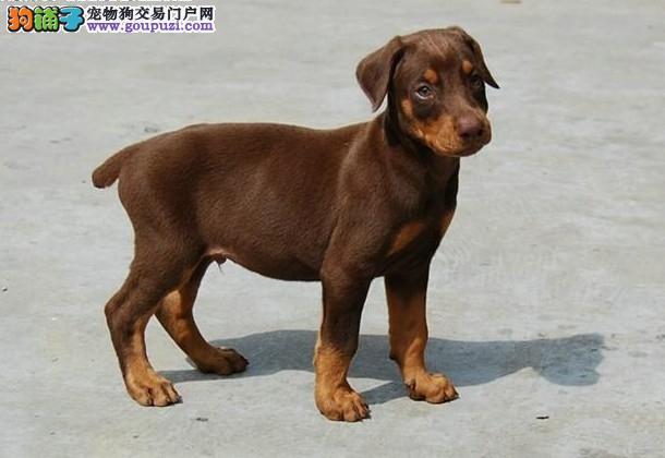 杭州杜宾犬出售 哪里有卖杜宾犬 杜宾犬价格3