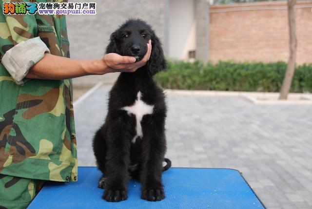 直销阿富汗猎犬幼犬 血统认证保健康 喜欢加微信