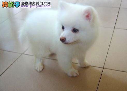 海口正规狗场犬舍直销银狐犬幼犬签订终身纯种健康协议