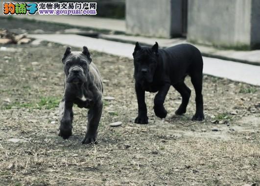 家养多只合肥卡斯罗犬宝宝出售中保证冠军级血统