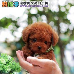 苏州繁育精品玩具体茶杯泰迪犬 可看父母 可签协议泰迪1