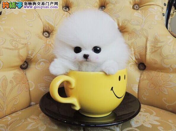 繁殖基地出售多种颜色的茶杯犬可直接微信视频挑选