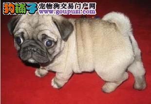 徐州憨厚可爱的小巴哥幼犬 保纯健康已做疫苗特价销售