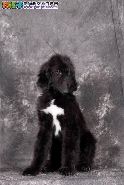 天津热销阿富汗猎犬颜色齐全可见父母包养活送用品